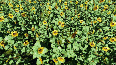 Field of blooming sunflowers Footage
