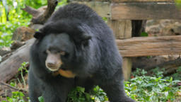 Asian black bear swing and scratching Live Action