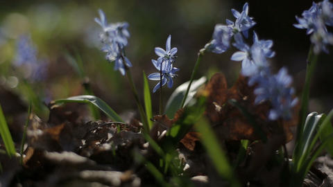 First blooming flowers in a spring wild forest. Fresh grass and flowers in Footage