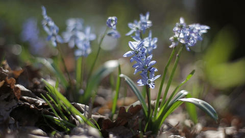 First blooming flowers in a spring wild forest. Fresh... Stock Video Footage