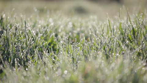 Focus Pan shot of green grass with lots of water droplets in the morning. Grass Footage
