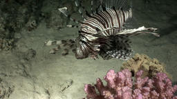 Giant predator Common lionfish Pterois volitans hunts for fish in Red sea Footage
