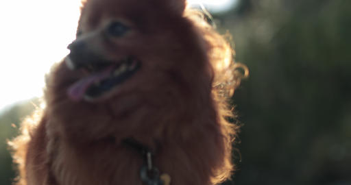 Pomeranian dog outdoors in sunshine Live Action