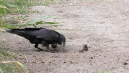 crow stealing turtle eggs Footage