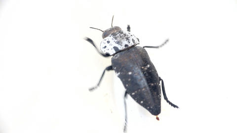 Struggle of opposites concept. Beetle carrion crawling on white background (slic Footage