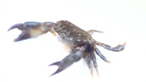 crab with vertically raised (aggressiveness) claws and blowing bubbles Footage