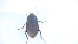 Round black beetle on white background Footage