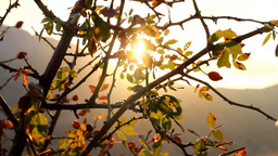 Chilled sun. Sun shivering in autumn wind through wild rose Live Action