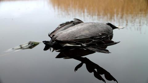Next reincarnation. Dead black bird with strange feet swinging in water Footage