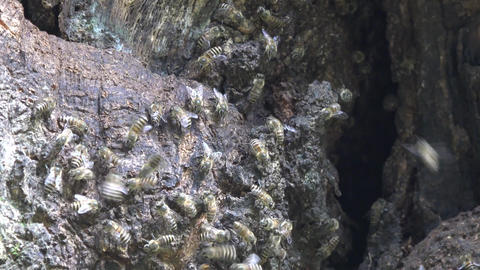 4K Japanese honey bee assume a threat posture Vespa… Stock Video Footage