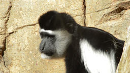 Colobus guereza or mantled guereza monkey in a natural park Footage