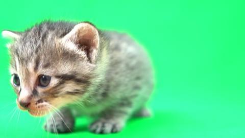 kitten(Chromakey) Live Action