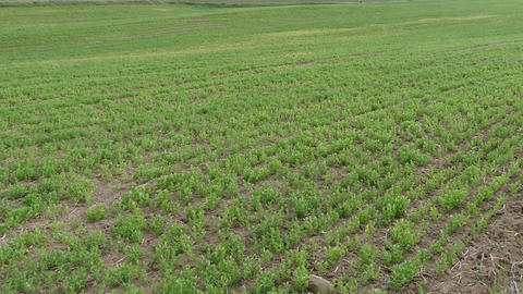 lentil field and fallow fields side by side Live Action