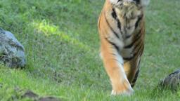 Sumatran Tiger approaching - Panthera tigris sumatrae Footage