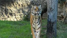 Sumatran Tiger approaching in a natural park - Panthera tigris sumatrae Footage