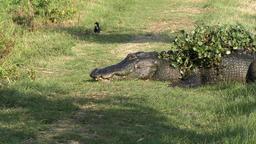 large alligator resting Footage
