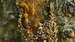 Close-up termites workers repairing a tunnel on Tree Live Action