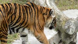 Sumatran Tiger walking in a natural park or zoo - Panthera tigris sumatrae Footage