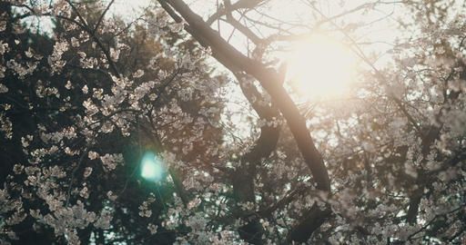 Spring cherry blossoms at peak bloom Footage