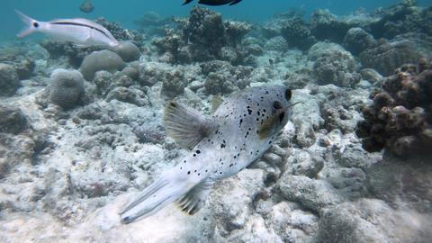 Boxfish Swimming Near Corals In Tropical Sea Footage