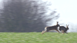 Two Brown hares hunting each other and fight Footage