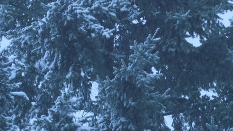 Snow falling in front of conifers Footage