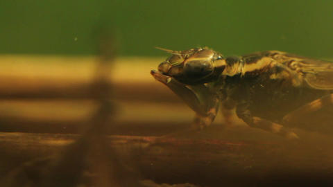 Close up of a Dragonfly larva hunting a mosquito larva Footage