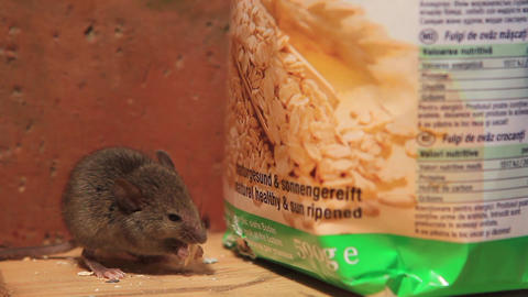 Young house mouse feeding on a oats flake Footage