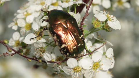Close up of a Rose chafer feeding on blossoms Footage