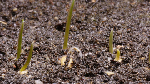 Timelapse of wheat seed germination and growing Footage