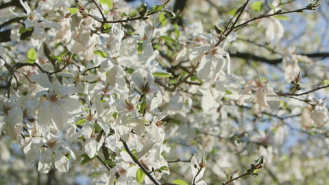 Tree Branches in Blossom Footage