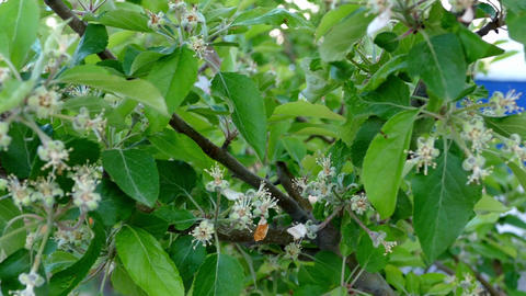 the apple tree that buds in spring Footage