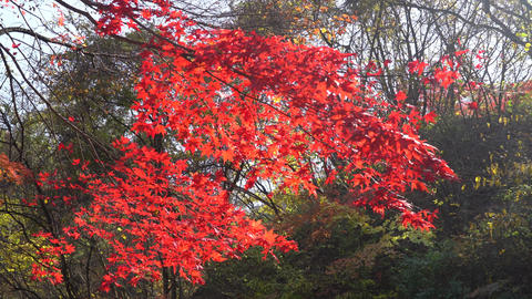Swaying autumn leaves Footage