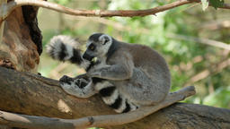 Ring-tailed Lemurs grooming on a tree Footage