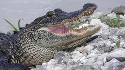 alligator close up Footage