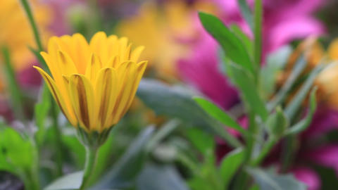 Solitary African Daisy flower bud in colorful flowerbed Footage