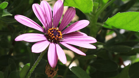 Pan over summertime flowers. Pretty pink african daisy in the garden shined at Footage