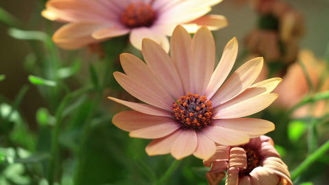 Close up of beautiful salmon colored African Daisy - Osteospermum Footage