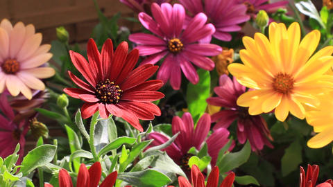 Colorful flowerbed. Solitary African Daisy flowers at the garden Footage