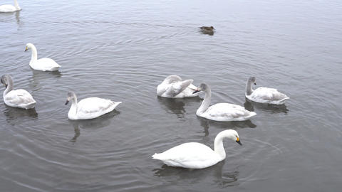 swan Live Action
