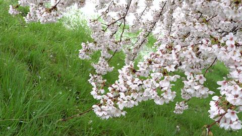 Cherry tree in full bloom Footage