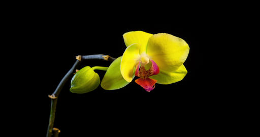 Yellow Orchid Time Lapse Footage