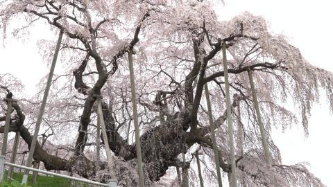 Weeping cherry tree Footage