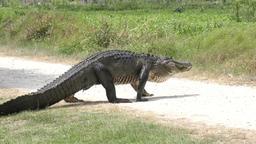 large alligator crossing Footage