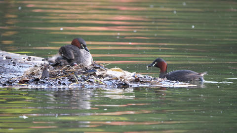 Dabchick or Little grebe Live Action