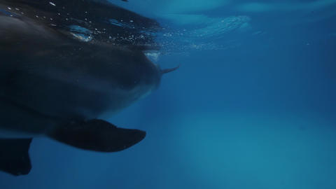 Dolphin swimming underwater floating pool in dolphinarium close up Footage