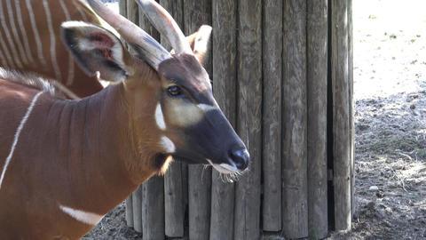 Bongo antelope (Boocercus euryceros isaaci) Footage