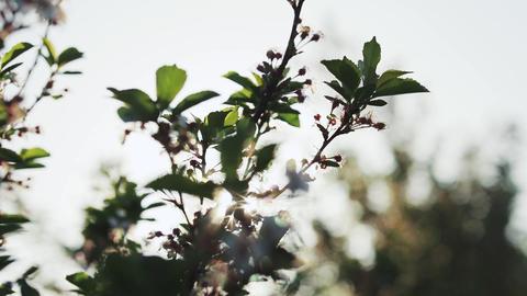 apple blossom in garden Footage