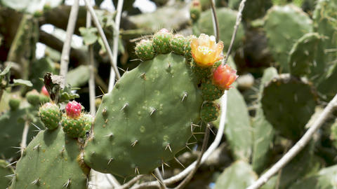 Bees pollinating prickly pear cactus flowers Footage