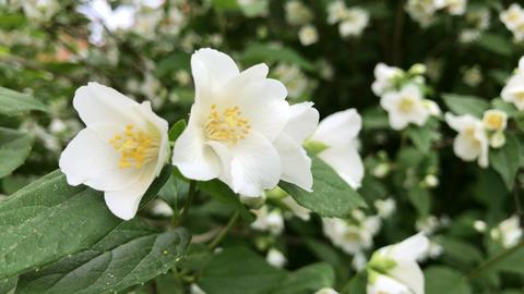 Beautiful jasmine flowers Footage